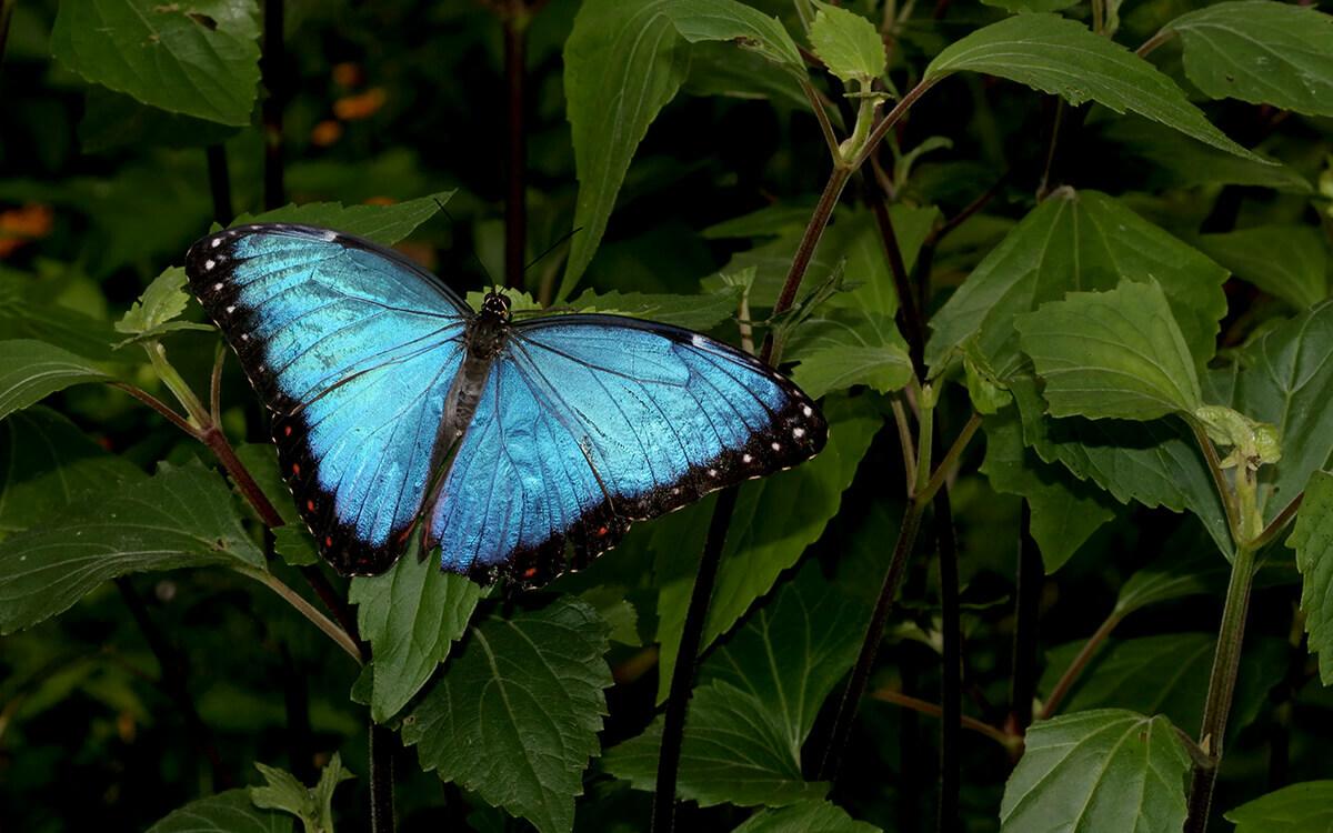 Amazonia columbia butterfly