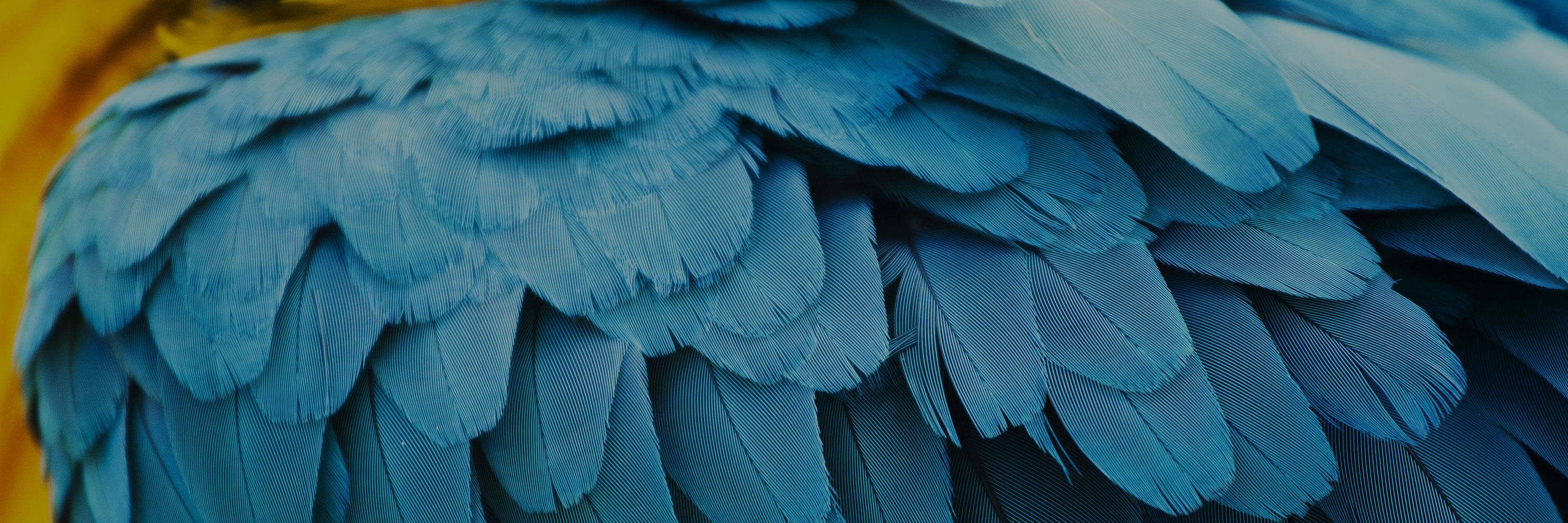 Blue and yellow feathers of a bird
