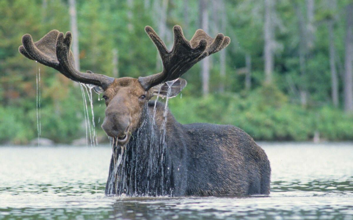 Large moose standing in water