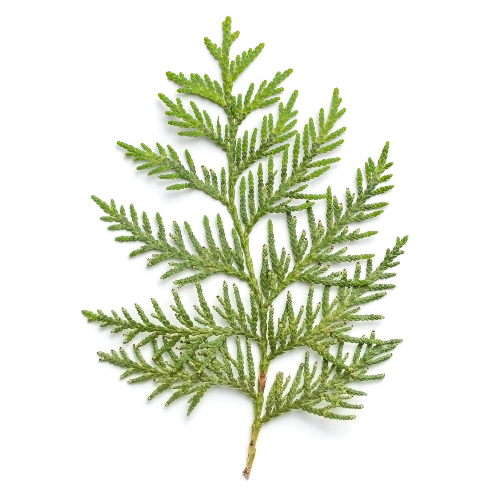 Cedar sprig