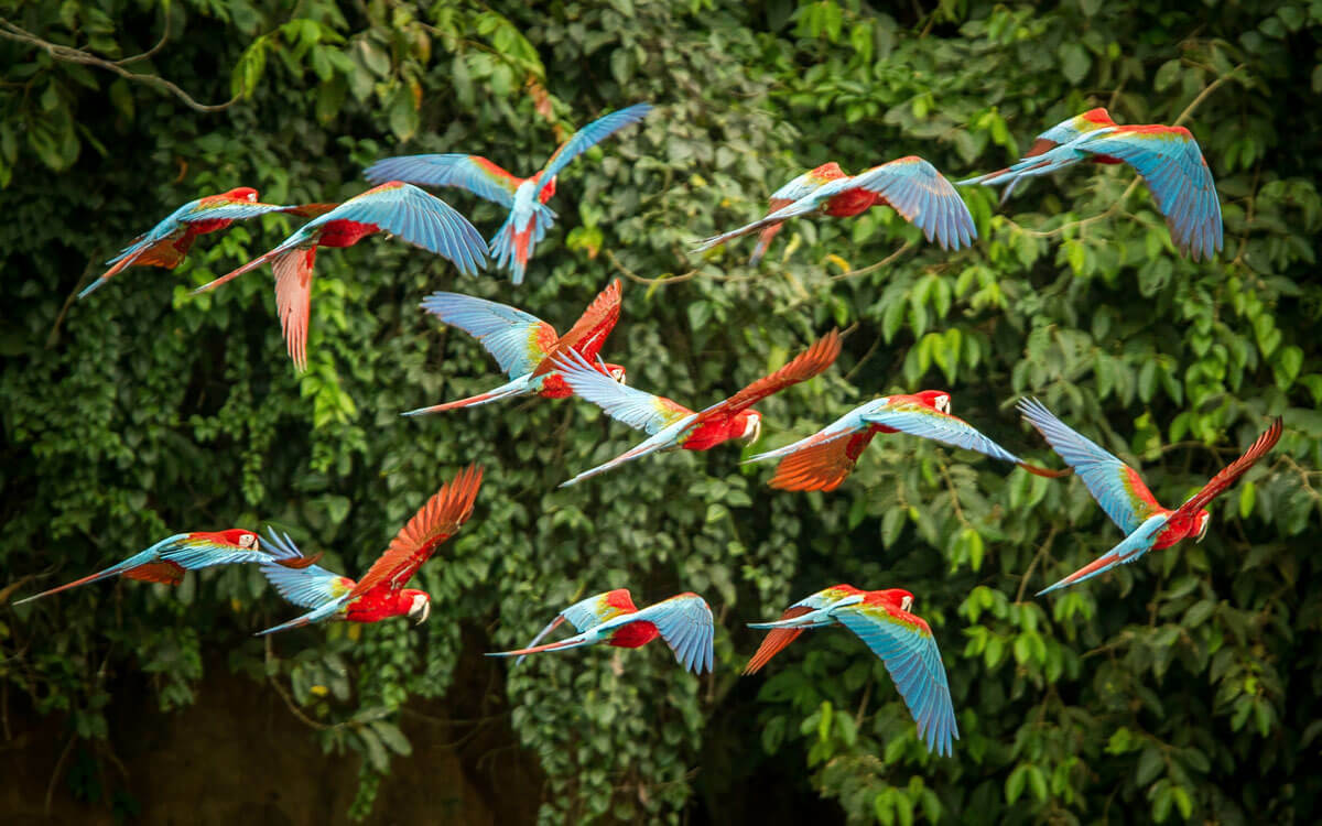 Macaw parrots flying in front of forest trees