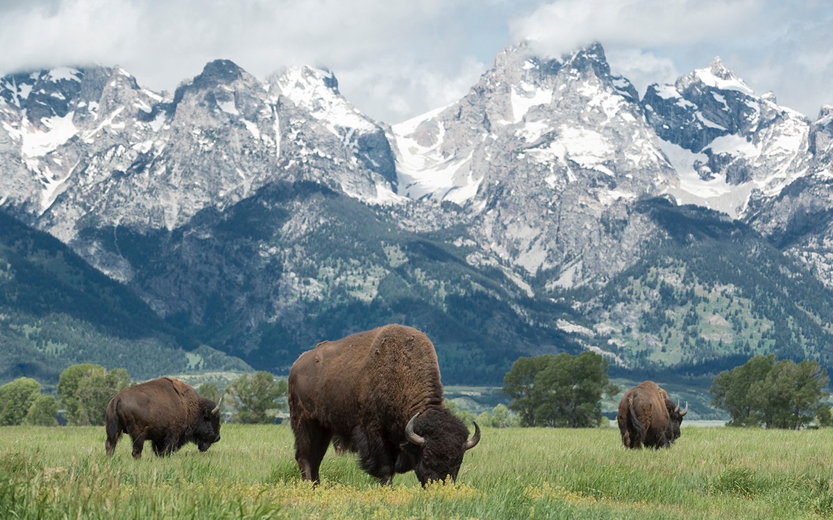 Three buffalo grazing in the grass with snow covered mountains in the background