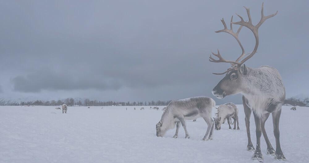 Reindeer grazing in a snowy field